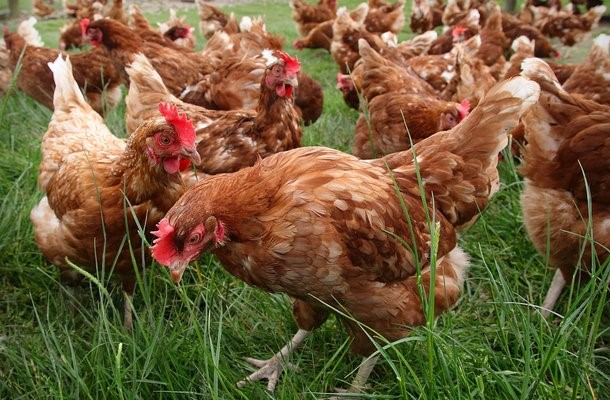 Selling native chicken laying the quality